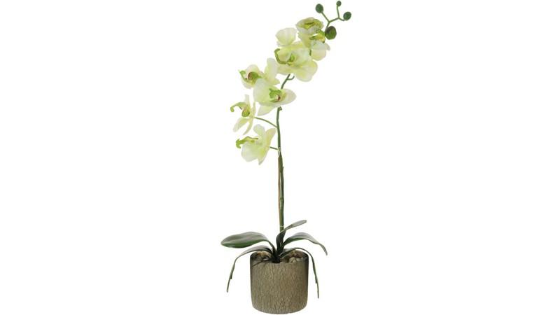 Single Moth Orchid Arrangement - Cream