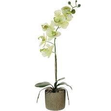 Single Moth Orchid Arrangement - Cream