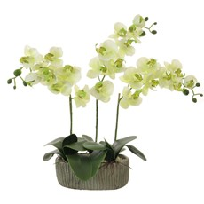 Triple Moth Orchid Arrangement - Cream