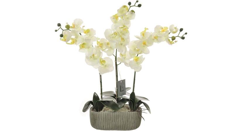 Triple Moth Orchid Arrangement - White