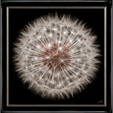Dandelion Clock Framed Print