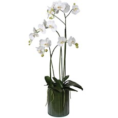 Potted Orchid Phalaenopsis In Glass