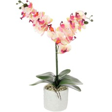 Double Moth Orchid - Pink & Cream