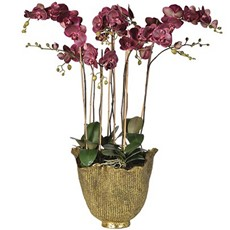 Potted Damson Orchid Phalaenopsis